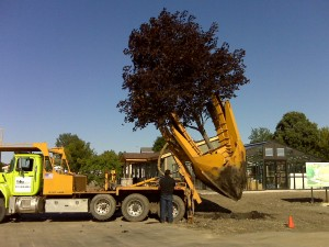 tree_moving-Park District (4)